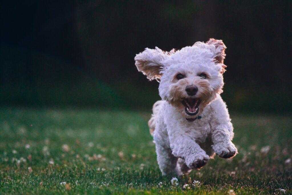 Perro corriendo tranquilo y feliz